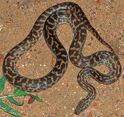 //en.wikipedia.org/wiki/Snake